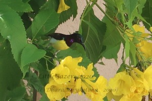Male - Purple-rumped sunbird